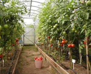 Как посадить, выращивать и ухаживать за помидорами в теплице из поликарбоната