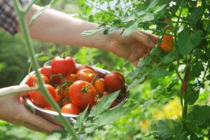 Описание и характеристики сорта томатов Белый Налив, урожайность и выращивание