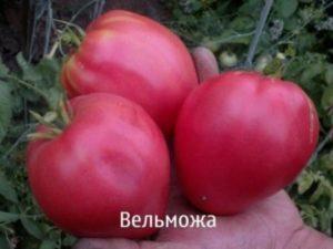 Описание и характеристики сорта томатов Вельможа, урожайность, посадка и уход