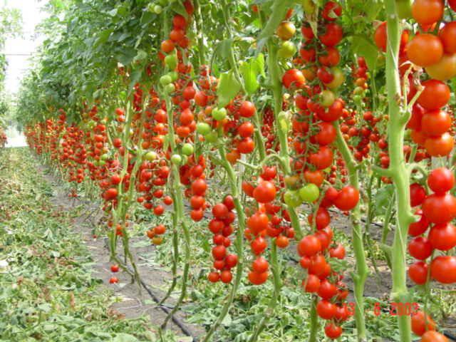 помидоры для урала