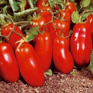 Описание и характеристики томата сорта Челнок, урожайность и выращивание