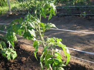Лучшие способы, как правильно подвязывать помидоры в открытом грунте и теплице