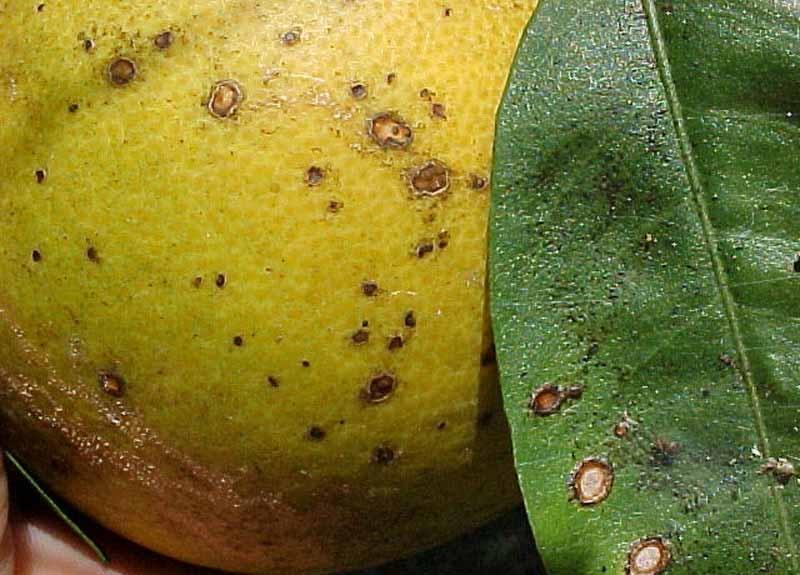Меланоз цытрусовых