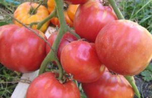 Характеристика и описание сорта томата Бабушкин секрет, урожайность и выращивание