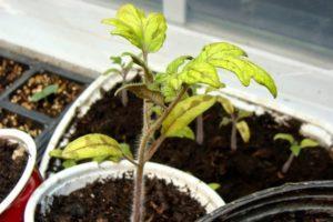 Почему может желтеть рассада помидоров и что делать