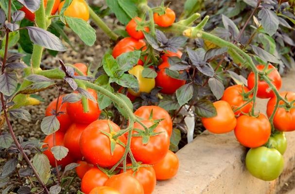 внешний вид томата санька