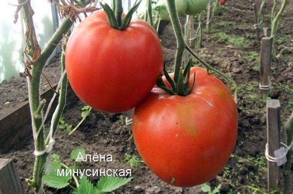 сорт томата Алена Минусинская