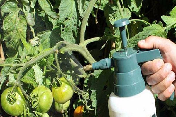 опрыскивание растений фунгицидными препаратами.