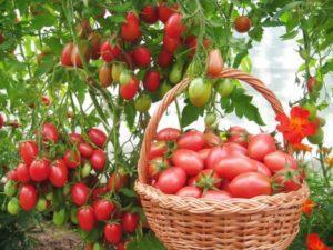 Описание лучших сортов томатов для теплиц в Кировской области