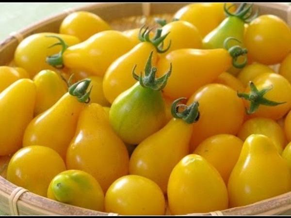 томат Желтая груша