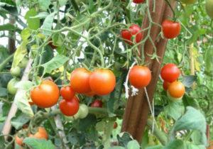 Характеристики и описание сорта томатов Сибирский скороспелый, урожайность и выращивание