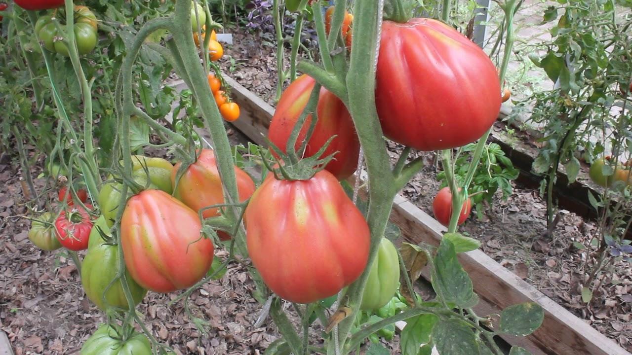томат инжир