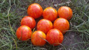 Описание лучших сортов томатов для Краснодарского края открытого грунта и теплиц