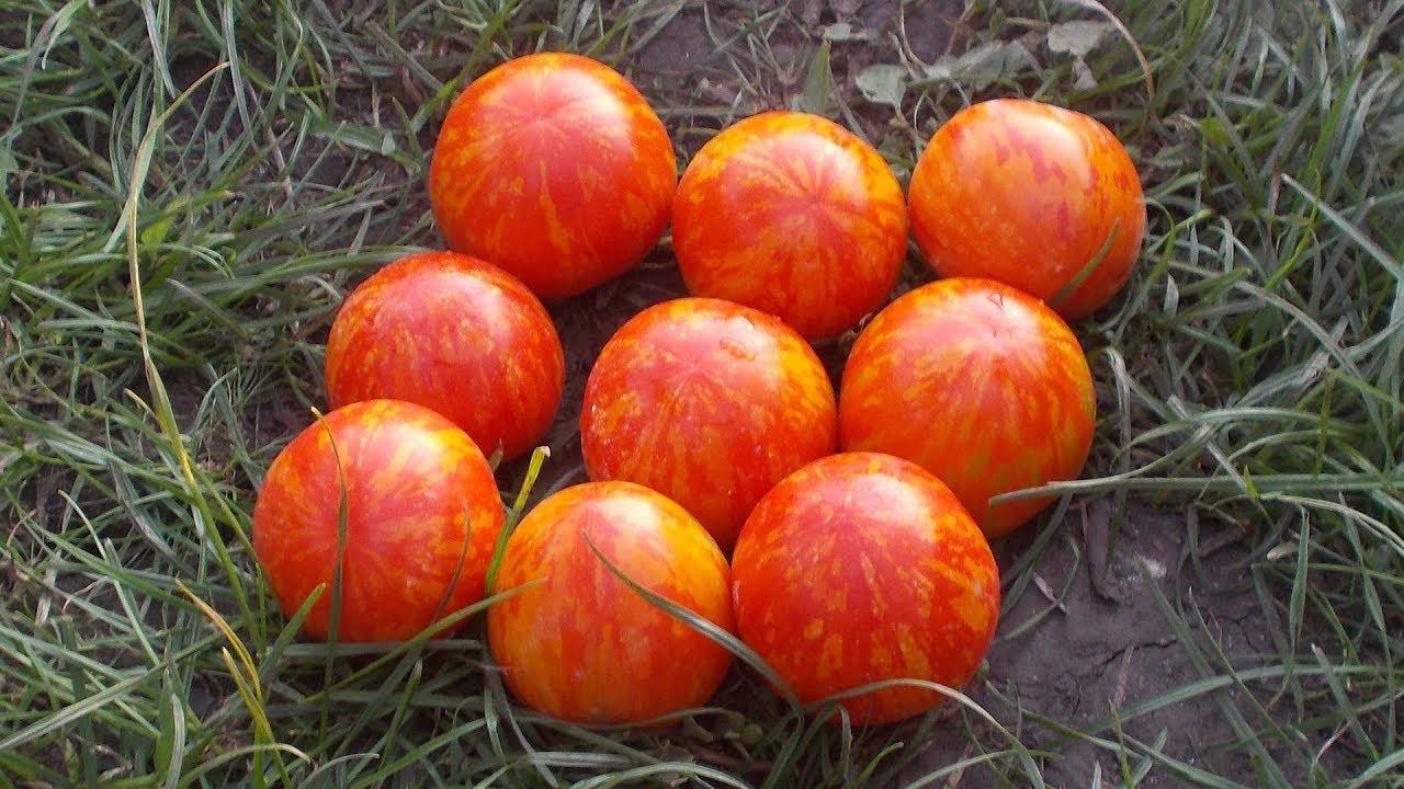 томат Тигровый