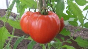 Описание и характеристики минусинских сортов помидоров