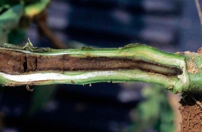 Черная ножка (корневая гниль)