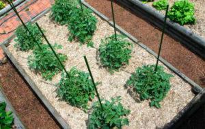 Чем и как лучше проводить мульчирование томатов в открытом грунте и теплице
