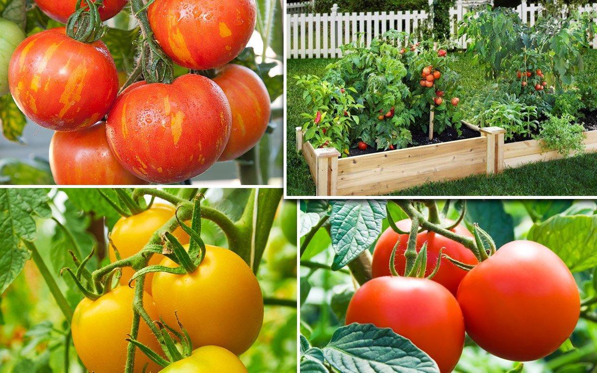 томат непас