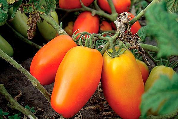 оранжевый перцевидный томат