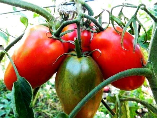 томат гигант
