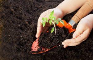 Как подготовить почву для рассады томатов своими руками
