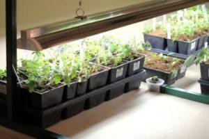 Длительность светового дня для рассады томатов, как правильно и сколько подсвечивать