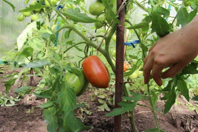 томат банан красный