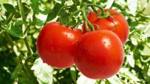 Описание самых урожайных и сладких сортов непасынкующихся томатов Непас