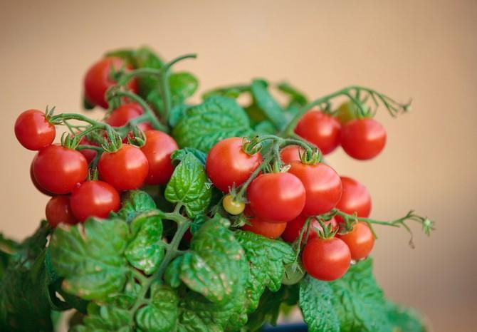 томаты черри на подоконнике