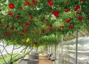 Описание сортов помидорных деревьев, посадка, выращивание и уход в открытом грунте