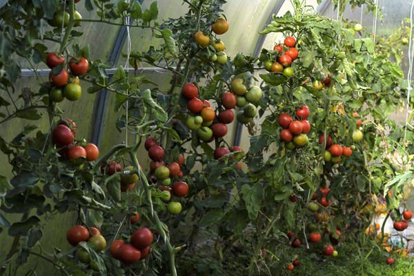 кусты томата в теплице