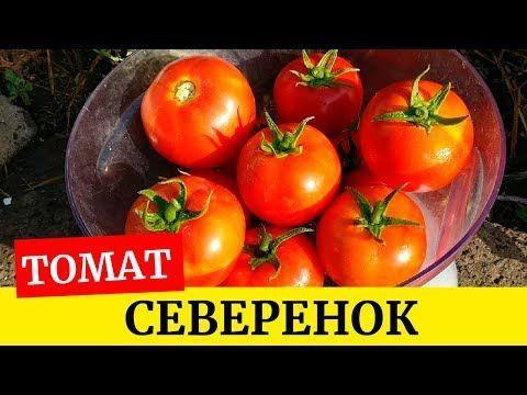 томат Северенок