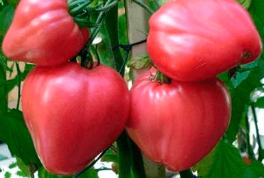 томат Сахарный