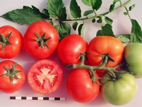 ветка томата санька