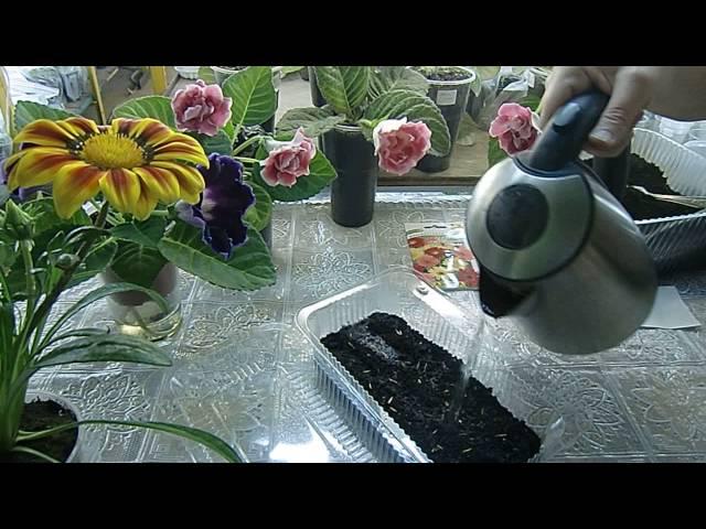 посев томата в кипяток