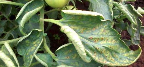 Закрученность листьев на верхушках кустов