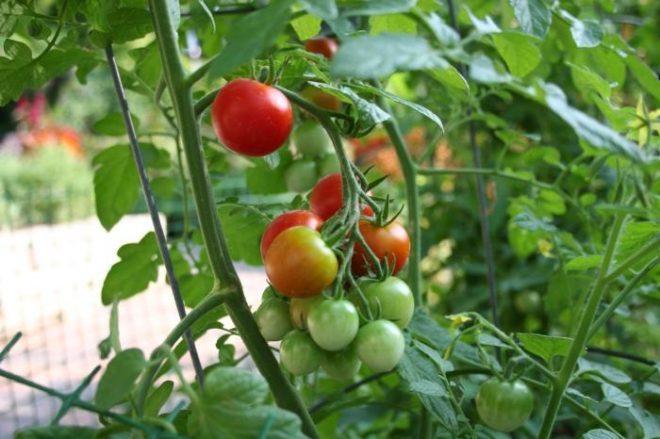 томат анюта в открытом грунте
