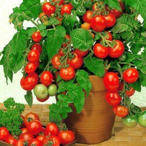 Как посадить и вырастить на подоконнике помидоры черри из семян дома в горшке