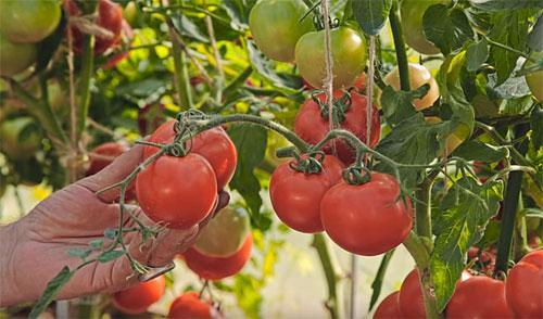 томат любаша
