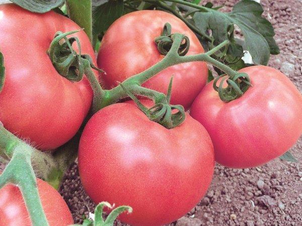 Малиновый томат