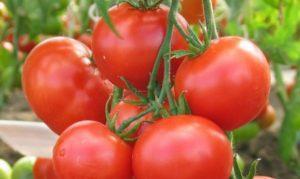 Характеристика и описание томата сорта Любаша F1, урожайность и выращивание