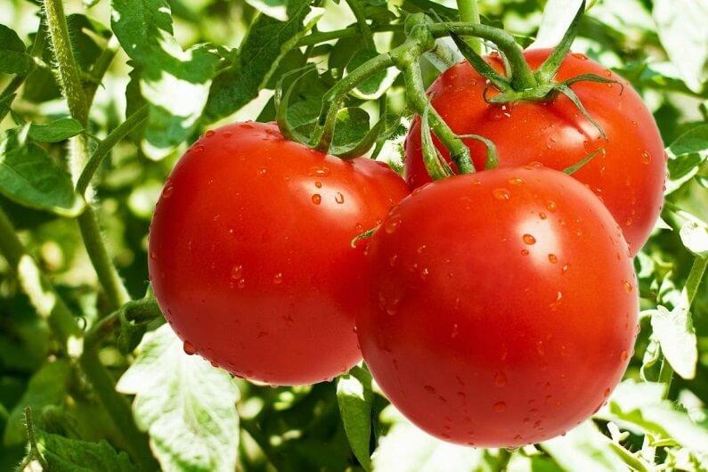 томат непасынкующийся