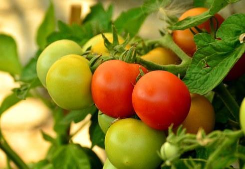 помидоры БимБом F1