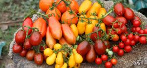 Самые лучшие и урожайные сорта помидор для выращивание в теплицах на Урале с описанием