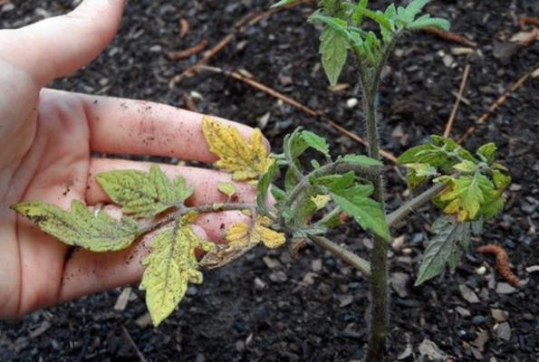 желтая рассада помидор в огороде