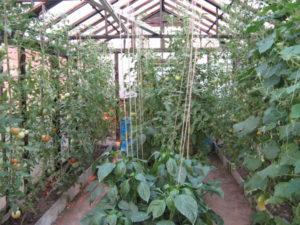 Что можно сажать после помидоров на следующий год на грядке