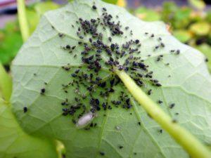 Описание вредителей огурцов и их лечение, меры борьбы и обработка