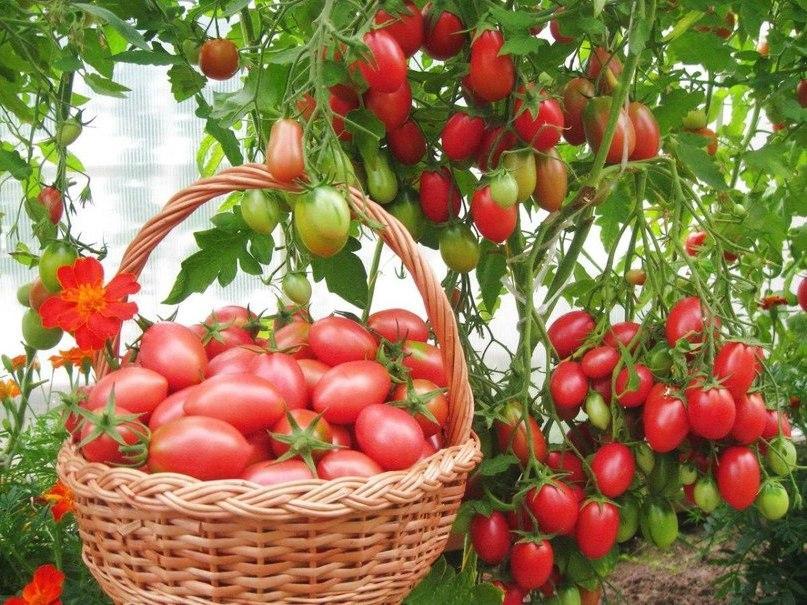 Чио-чио-сан томат
