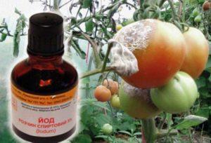 Для чего нужны опрыскивания помидоров йодом, рецепты как подкормить и обработать