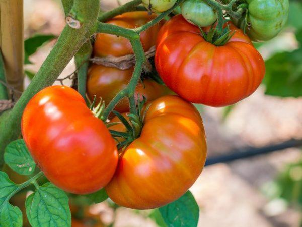 томаты в открытом грунте